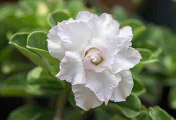 white Impala Lily flower