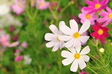 Beautiful cosmos flowers blooming in tibet