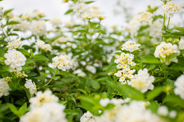Lantana or Wild sage or Cloth of gold