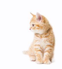Littler Ginger british shorthair over white background