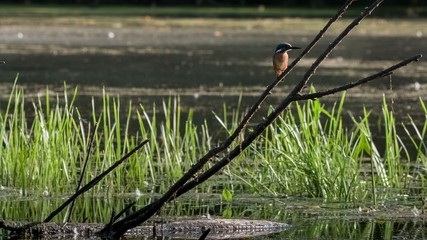 Kingfisher sits on a dry branch