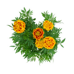 French Marigolds blooming on tree isolated on white background