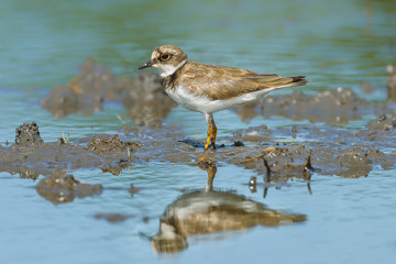 Portrait of Little Ringed Plover (Charadrius dubius) in nature