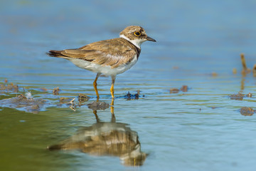 Little Ringed Plover (Charadrius dubius) in nature of Thailand