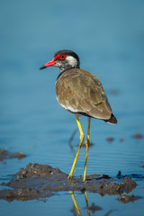 Close up portriat of Vanellus indicus (red-wattled lapwing)