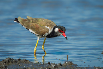 Vanellus indicus (red-wattled lapwing) finding some food