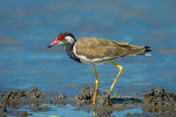 Side close up of Vanellus indicus (red-wattled lapwing)