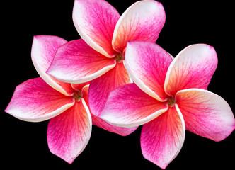 pink flowers frangipani (plumeria) on green leaf background