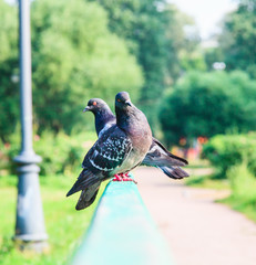 Two pigeons in the park