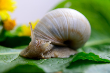 Big snail on a green leaf
