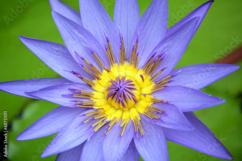 Fotobehang Lotusbloem Lotus bleu