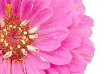 Zinnia petals isolated on white background