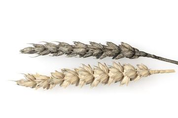 Weizenflugbrand; kranke; Aehre; krank; Aehren; Flugbrand; Weizen