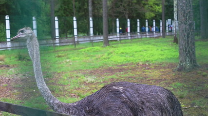 ostrich in captivity