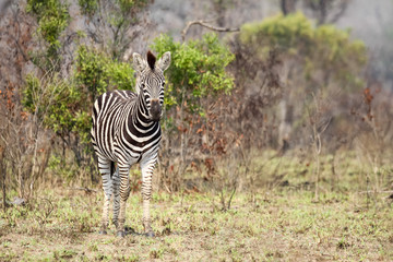Wild Burchells Zebra standing in the open bush