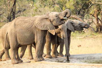 A small herd of wild Elephants drinking at a man made waterhole