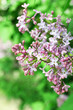 Beautiful lilac flowers, outdoors
