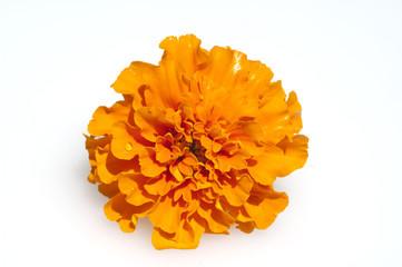 Tagetes, Studentenblume, Sommerblume,