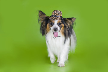 Papillon in a cowboy hat on a green background