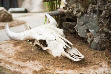 Череп с рогами, останки большого животного