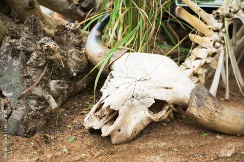 canvas print picture Череп крупный рогатый скот, останки, скелет