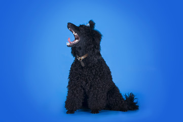 black poodle on a blue background
