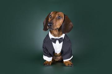 Dachshund in formal suit on a dark background