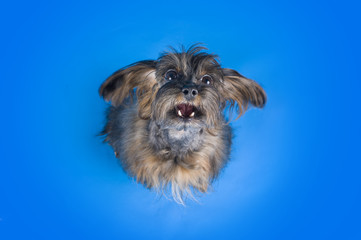 Dog Breed the Petersburg orchid on blue background