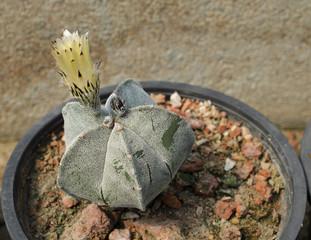 Cactus flower growing ion pot