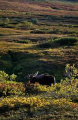 Big Moose bull