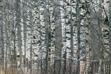 birch trunks forest