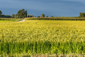 Rice fields in summer, Ottobiano (Italy)