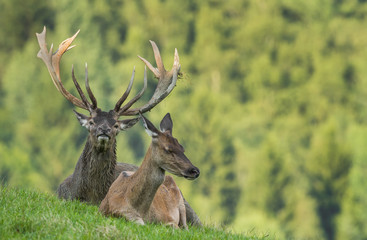 Cervus elaphus - deer with his herd