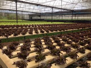 red oak, green oak, green cos hydroponics farm