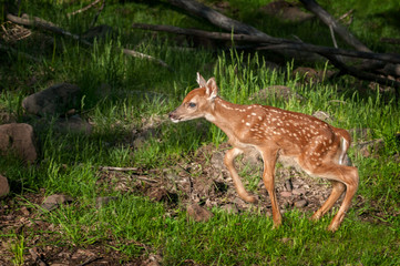 White-Tailed Deer Fawn (Odocoileus virginianus) Moves Left