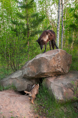 Black Wolf (Canis lupus) Stands ATop Den Watching Pups Below