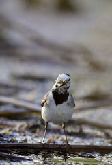White Wagtail with insect