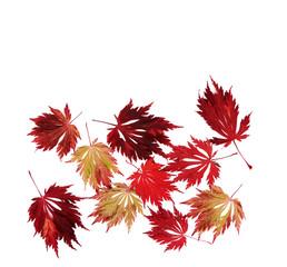 Japanischer Feuerahorn, Herbstblätter