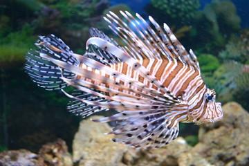 Lionfish-Zebra.Pterois volitans