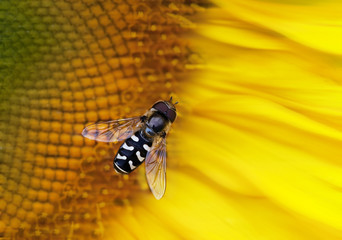 Close-up photo of a hoverfly feeding on a Sunflower