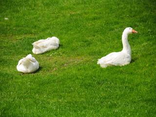 geese meadow