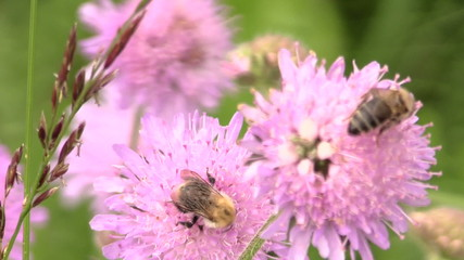 Bumblebee (bombus) and bee collect pollen from pink flower