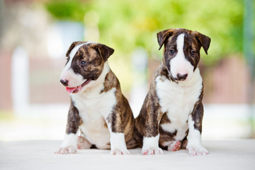 two adorable bull terrier puppies together