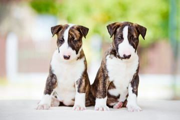 two adorable bull terrier puppies