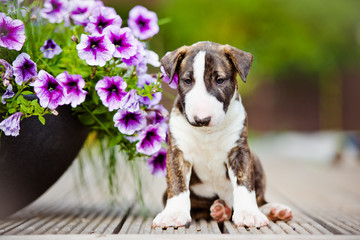 bull terrier puppy with flowers