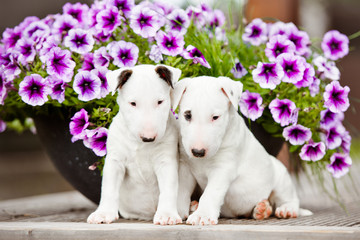 two white puppies in the flowers