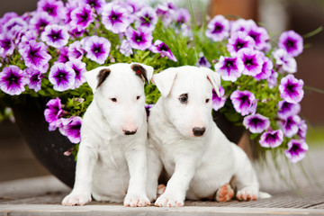 two white english bull terrier puppies together