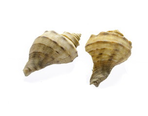shell isolated on white background