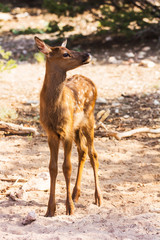 Little fawn at the Grand Canyon