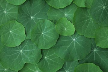 Blätter der Brunnenkresse